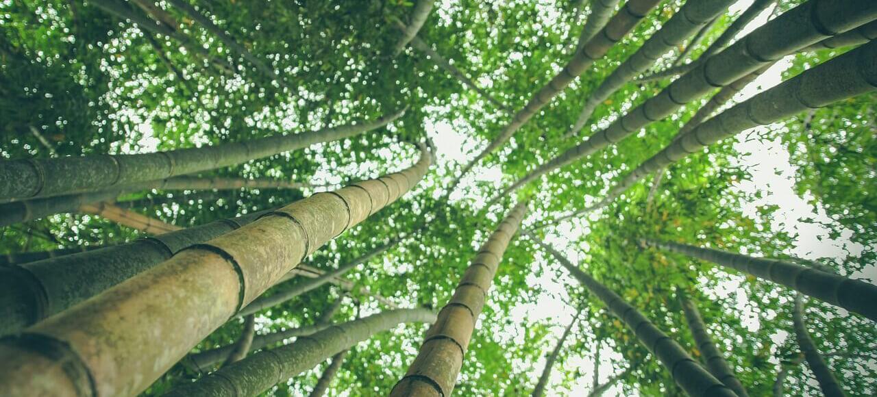 Bamboos for Bamboo Salt